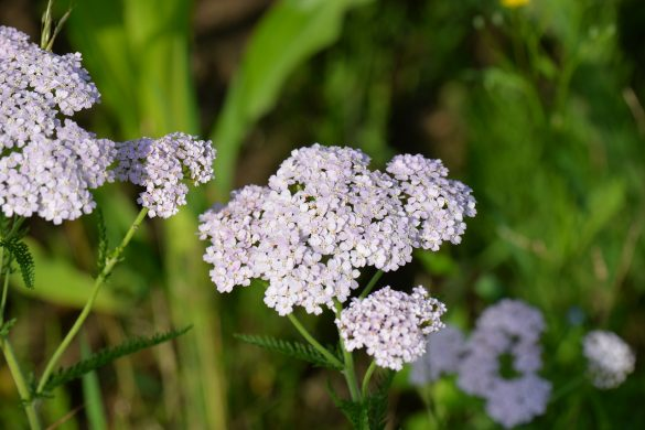 Kräutersalat mit Lavendelpopcorn